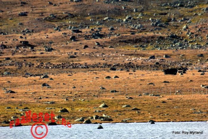15 Tusenvis med rein Valdresflye Foto Roy Myrland