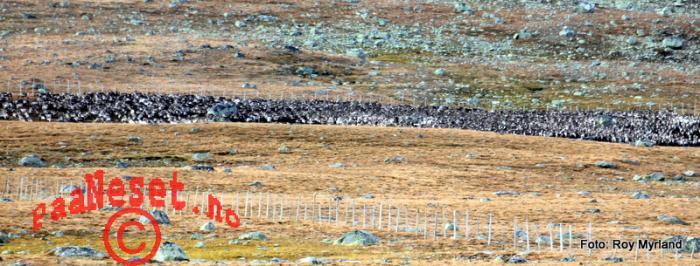 19 Reinflokk Vågå Tamreinlag Valdresflye -10 Foto Roy Myrland