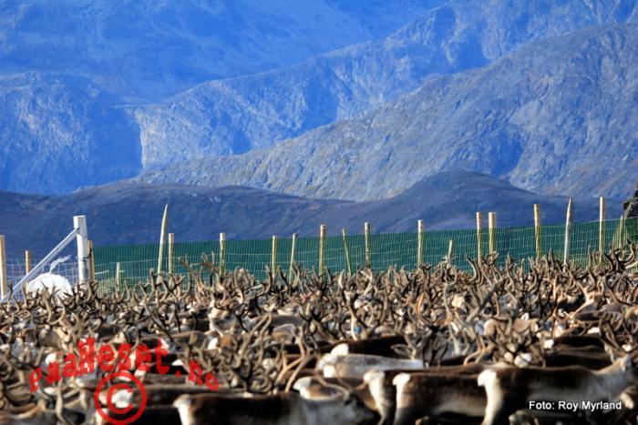 8 innhegning Vågå tamreinlag Bessegen Naturopplevelse Jotunheimen Valdres Oppland Foto Roy Myrland
