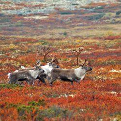 Villreinjegere Reinsdyr foto; k. Hansen Villreinjakt natur Rondane sør