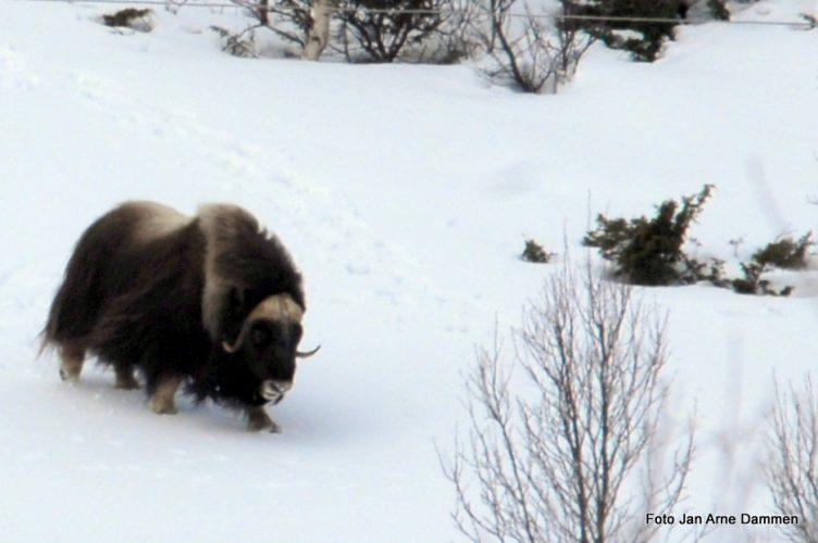 Moskus på vinterbeite Foto Jan Arne Dammen
