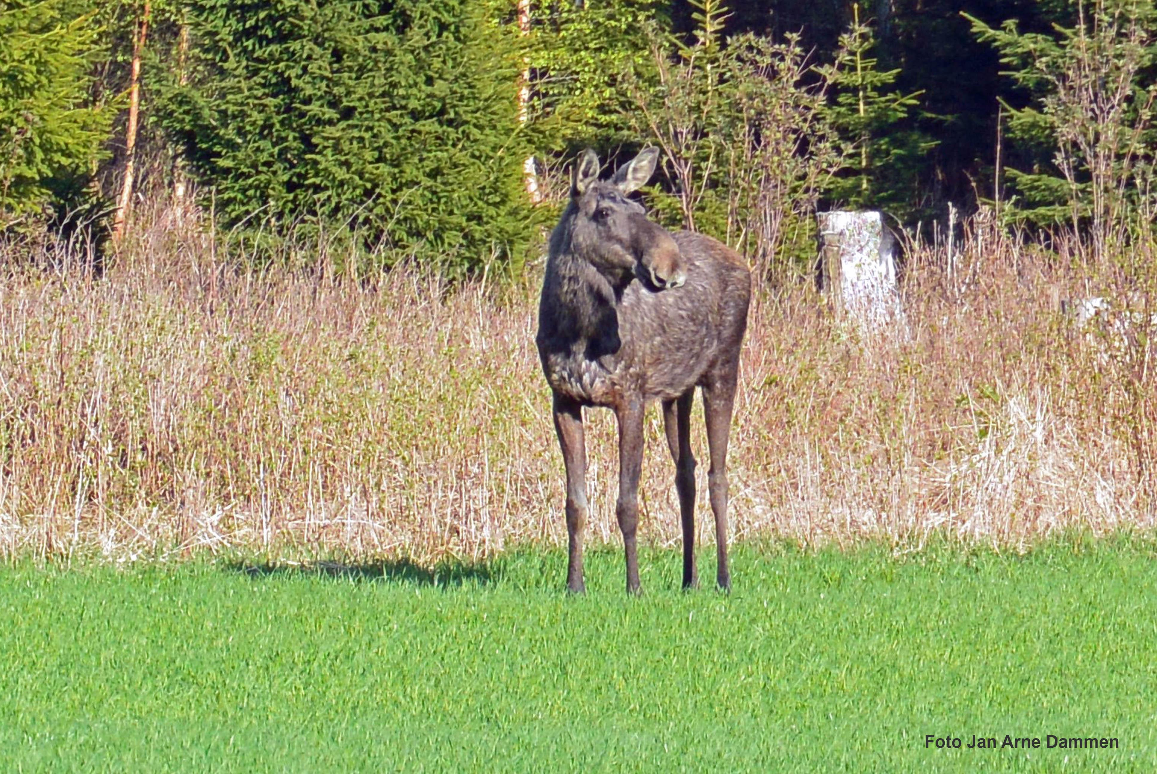 jakt elg i vestfold