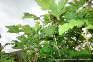 ripsbuskene Rips stikkelsbærrips larver foto roy myrland kryper