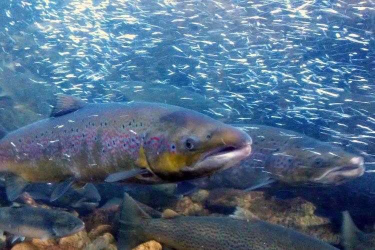 Folkemøte - Kan Gyrodactylus salaris utryddes fra Drammensregionen?