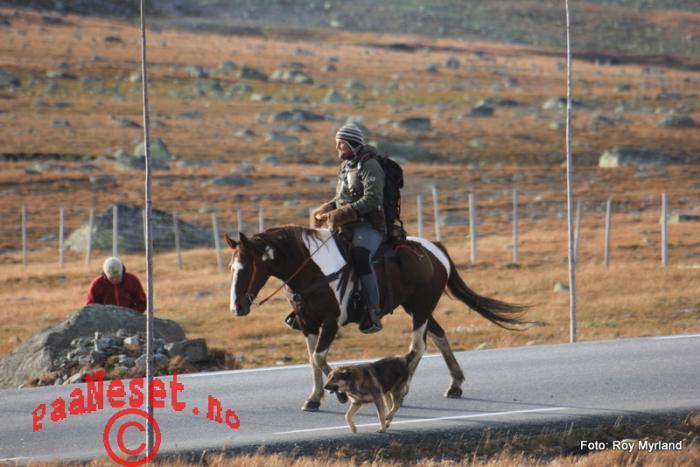 27 Reingjeter langs veien til hest med hund Foto Roy Myrland