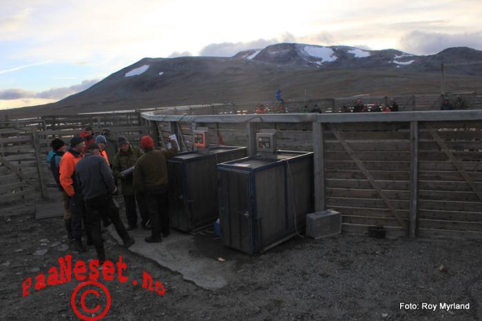 Vekter Tamreinlag Valdres Valdresflye Vågå Tamrein Reinsanking Foto Roy Myrland