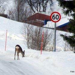 Som levende fareskilt rusler de langs veien. Foto Jan Arne Dammen